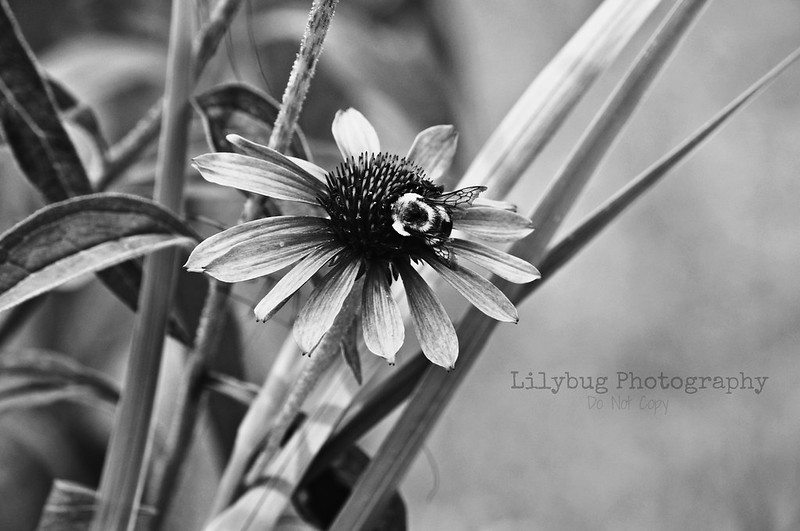 bumble bee (B&W)