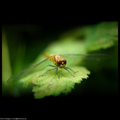 Dragonfly by Schepers