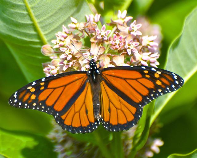 photo of monarch on milkweed