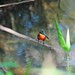 Small photo of American Pygmy Kingfisher