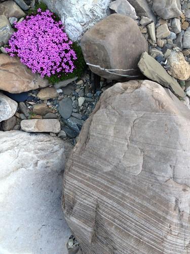 Moss campion, striped rocks at Henry Creek