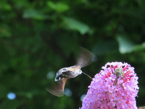 Hummingmoth visiting Buddleia