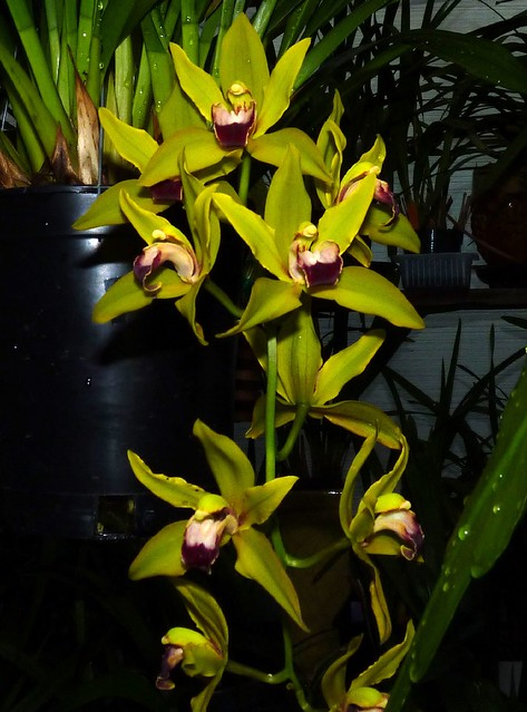 1st bloom of Cymbidium Kalimpong 'Isis' hybrid orchid 5-12*