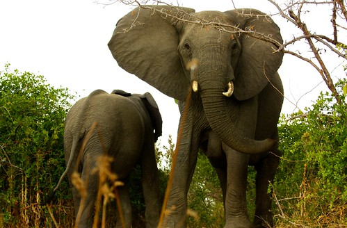 Elephant Too Close in Liwonde