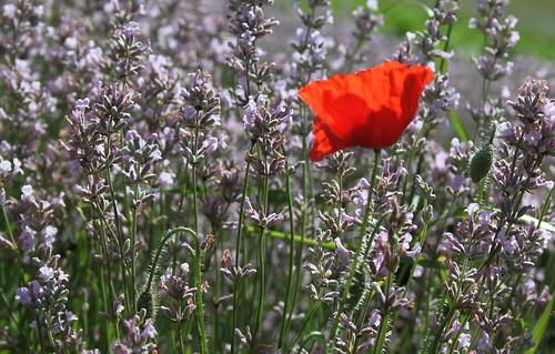 poppy in pink lavender