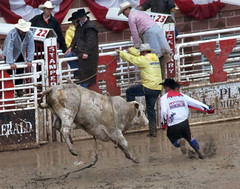 animal sports, rodeo, cattle-like mammal, bull, event, tradition, sports, matador, bull riding,