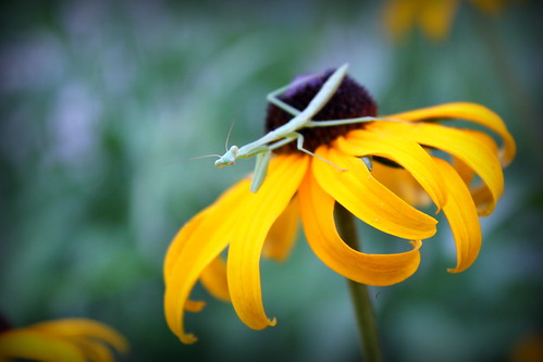 20120715. Tiny praying mantis.