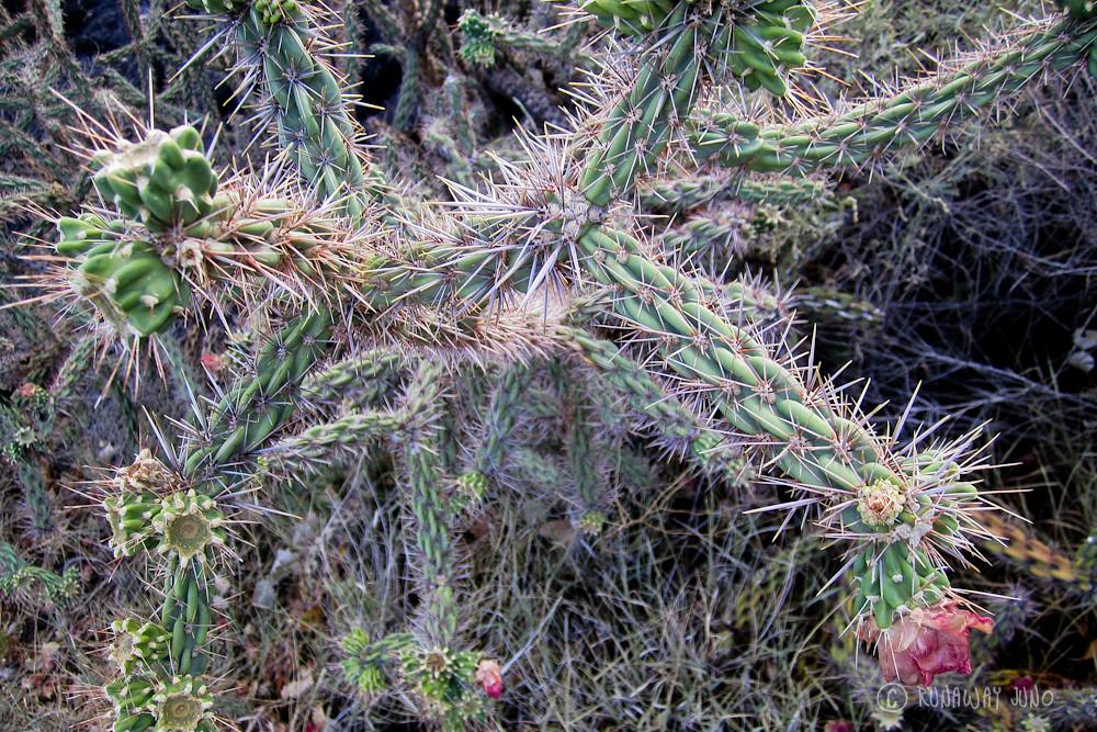 Cane Cholla Cactus