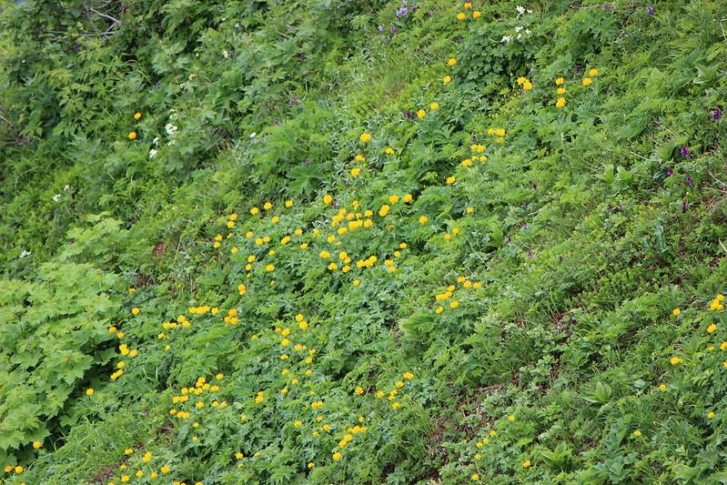 利尻岳山頂に咲く花