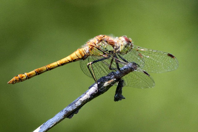 Dragonfly Common Darter Minsmere 23.7.2012 (1)
