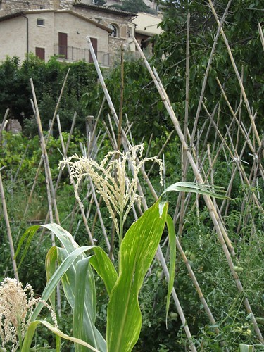 corn and tomatoes in churchyard farm