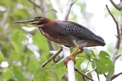 animal(1.0), fauna(1.0), green heron(1.0), beak(1.0), bird(1.0), wildlife(1.0),