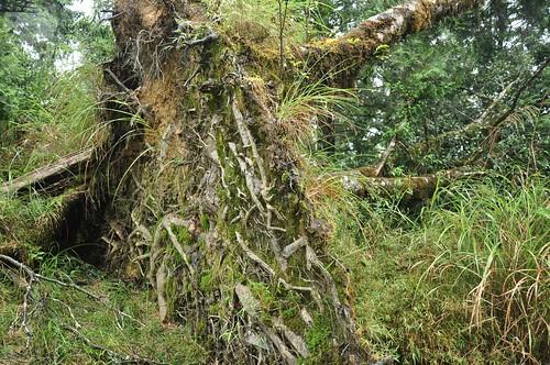 步道旁被連根拔起的樹木