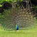 Indian Peacock (Chris Kehoe)