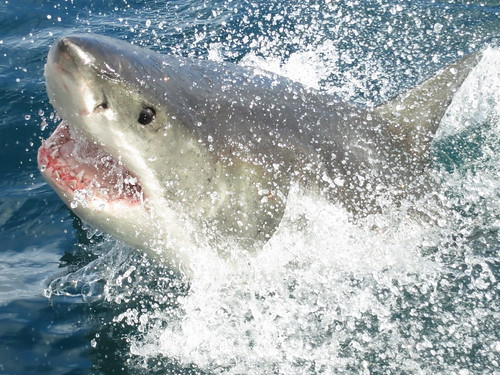 (Great) White shark. Kleinbaai. South Africa