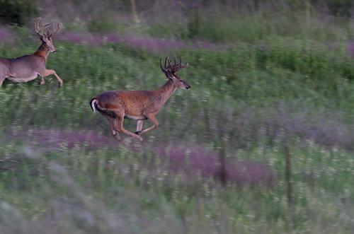 Running Bucks_3869.jpg