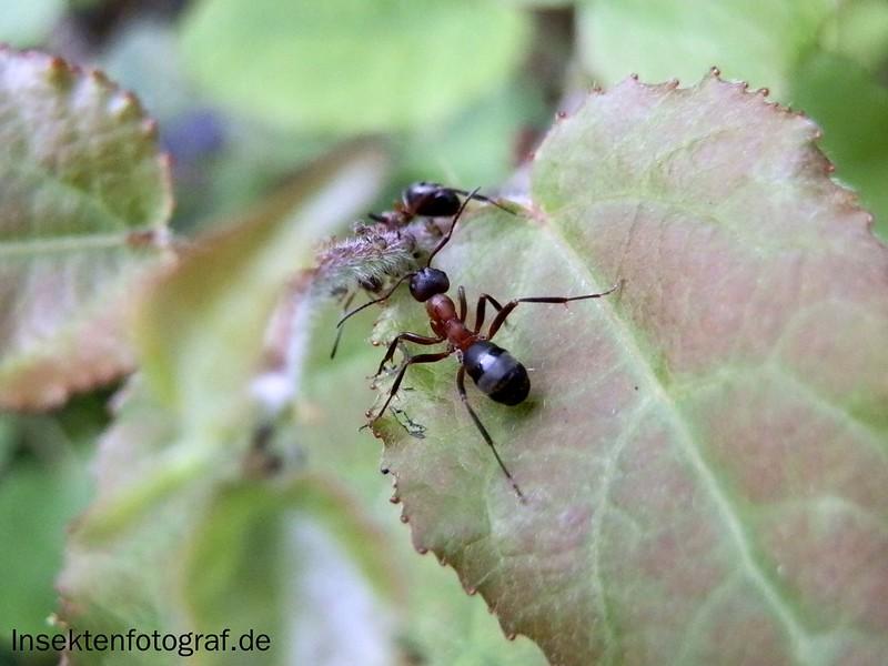 insektenfotograf rote waldameise formica rufa. Black Bedroom Furniture Sets. Home Design Ideas