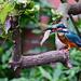 Kingfisher&Fish