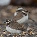Ringed Plover by queeny63
