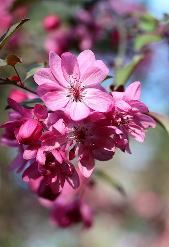 IMG_5046 Crab Apple Blossoms by Joyce Prescott
