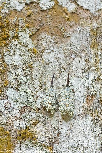 Pyrops oculata lantern fly ...IMG_4008 copy