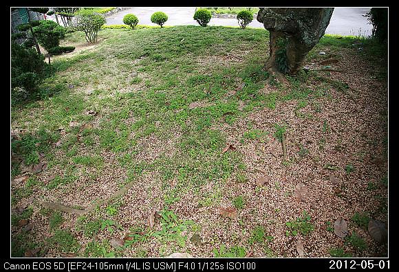 20120501Sterculia nobilis_9