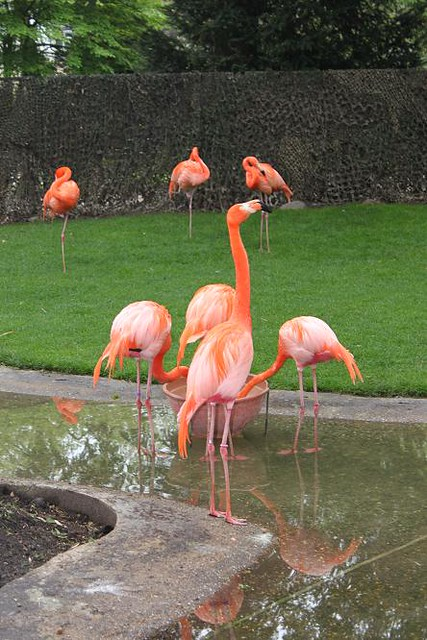flamingos eating and standing in water