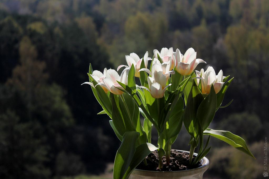Tulipa greigii cv. — Тюльпан Грейга, сорт