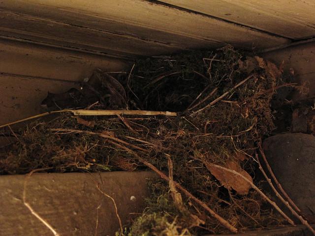 wrens' nest, 2012
