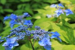 Blue hydrangea / 青いアジサイ
