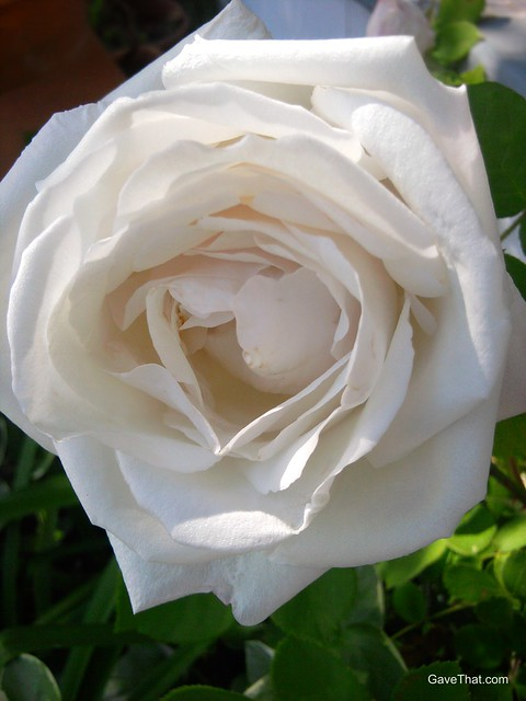 White Old Garden rose growing and blooming this May