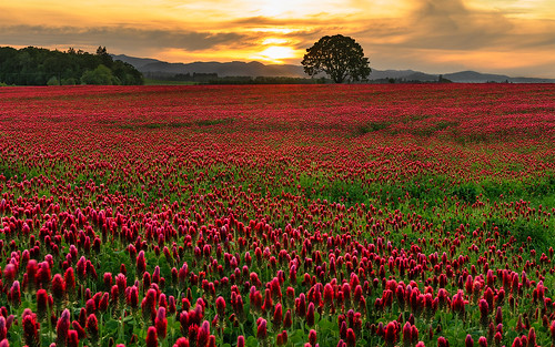 flowers crimson field oregon spring day cloudy blossoms may clover hillsboro 2012