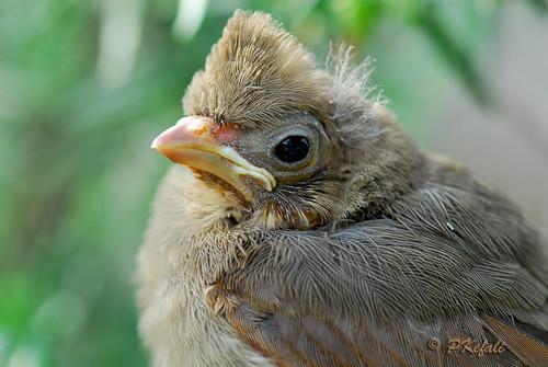 Baby Cardinal (2) by pkefali