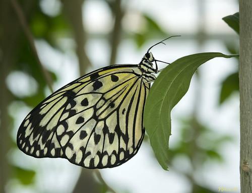 butterfly nikon ringflash d800 missouribotanicalgarden idealeuconoe butterflyhouse sb800 105mmf28micronikkor paperkite rayflash ©copyright thesophiamsachsbutterflyhouse