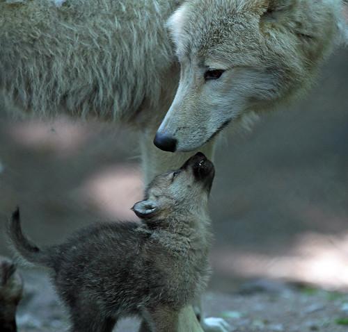 Hudsonbay wolf pup artis IMG_0575 by j.a.kok