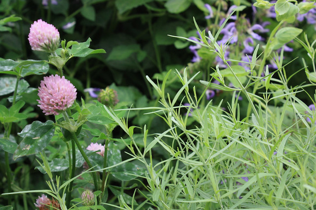 Trifolium repens (clover) and Asperula tinctoria (dyer's woodruff) in BBG's Herb Garden. Photo by Jean-Marc Grambert.