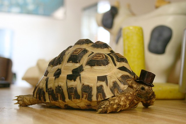 Tortoise in a Top Hat