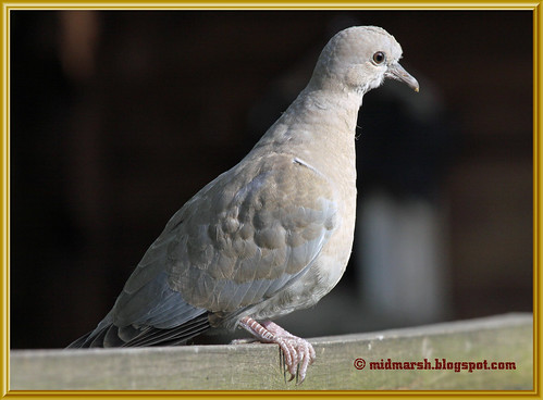 Juvenile Collared Dove 4372