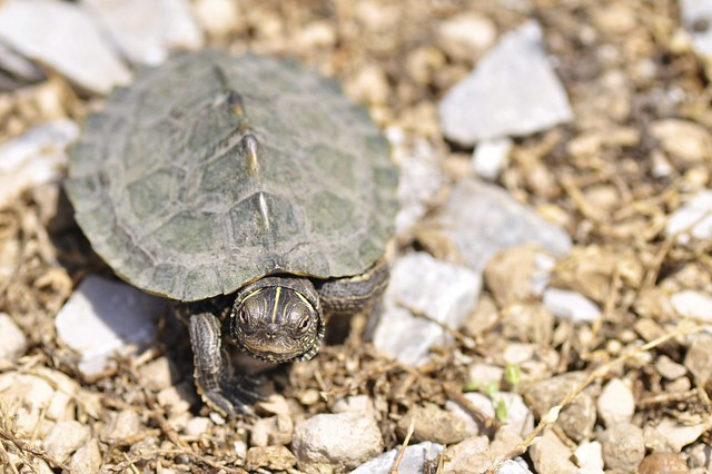 False Map Turtle - Graptemys pseudogeographica