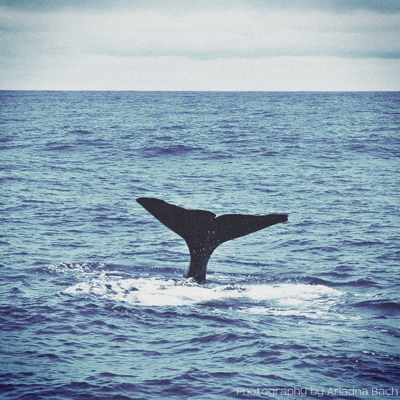 Whalewatching Futurismo Azores SpermWhale ariadnabach