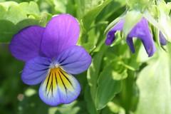 garden flower 032