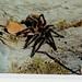Araña pollito