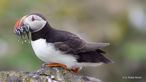 Puffin (more sandeels for tea!)