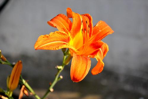 Wild daylily