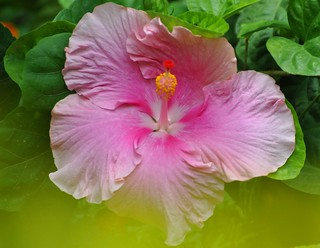 Hibiscus in a dream
