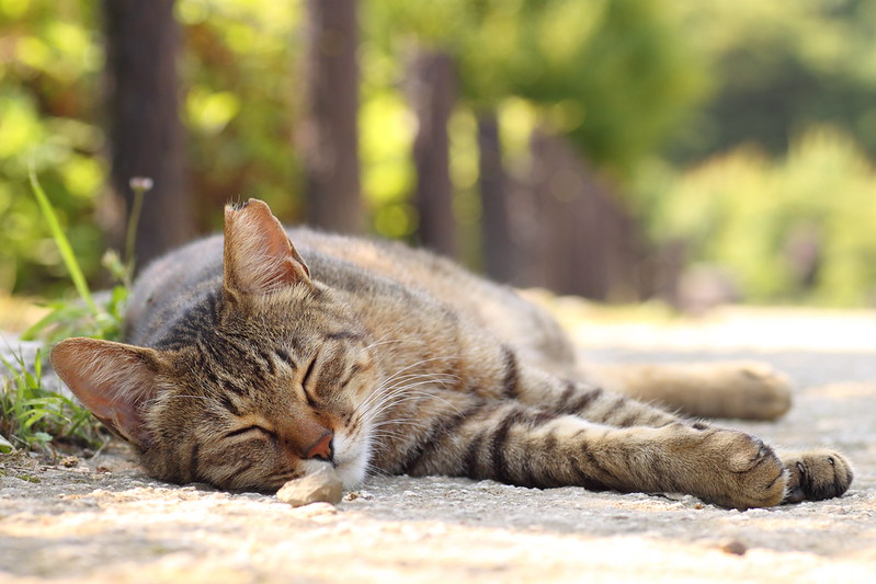 真夏の朝 キジトラ猫 2