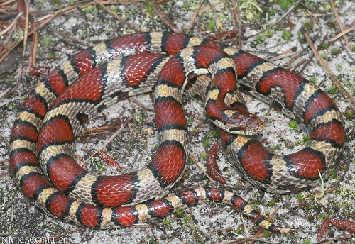how to tell a coral snake from a milk snake