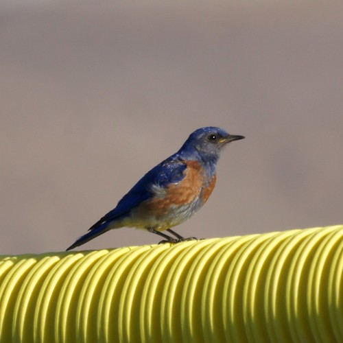 Western Bluebird by Mike's Birds