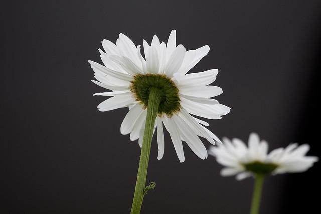 daisy underside