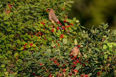 Cedar Waxwings_8826_.jpg by Mully410 * Images